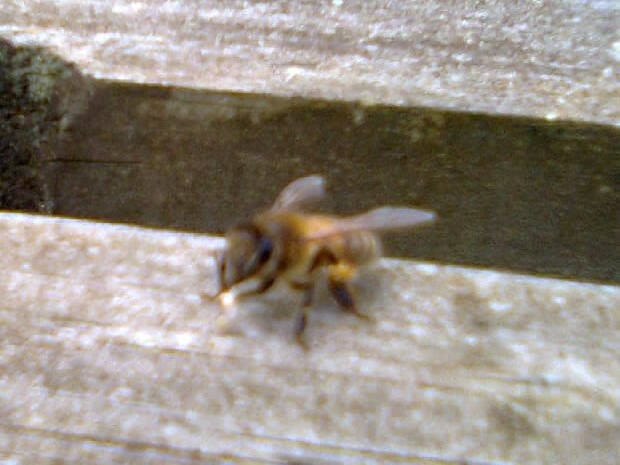 bee on wax 016