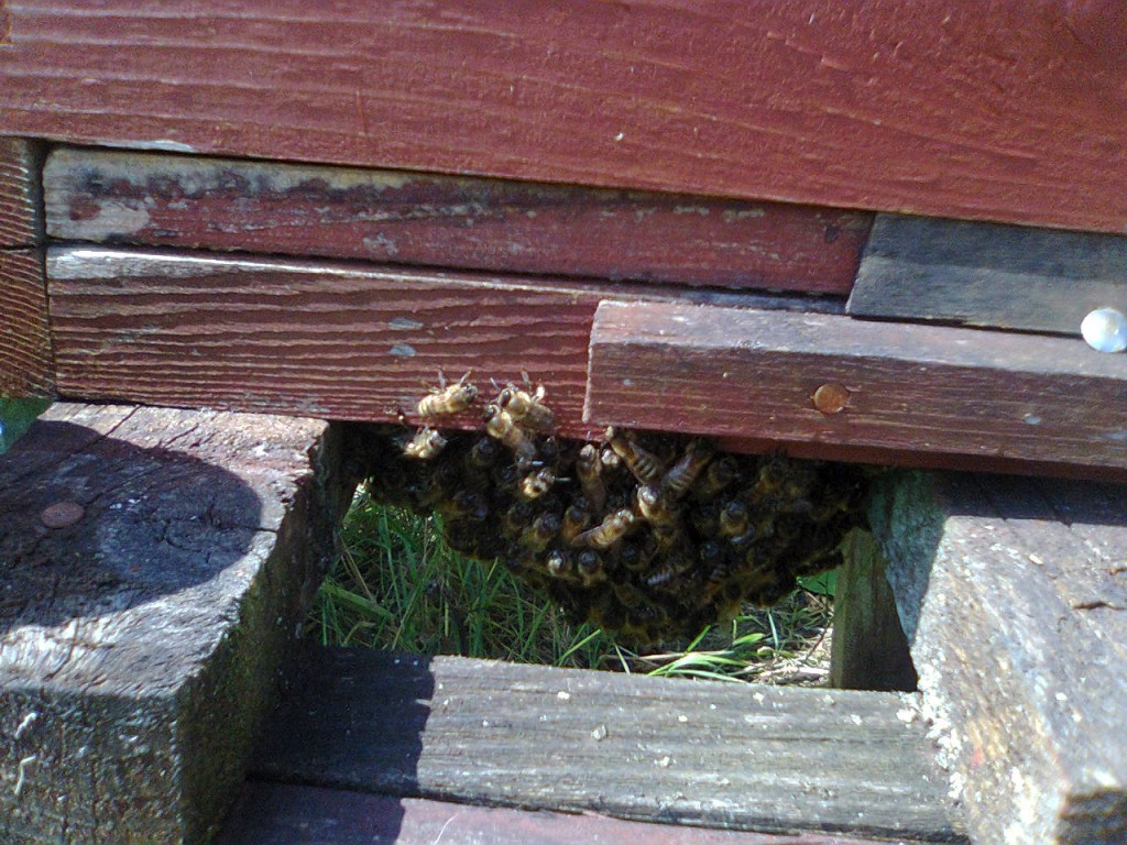 bee under floor in hive 4 001